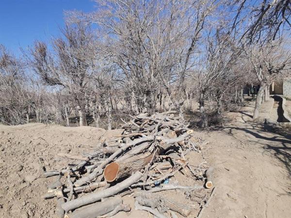 صدور دستور پیگیری قطع درختان راستا قنات جهانی قصبه توسط دادستانی